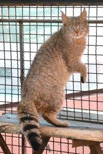 felinos-salvajes-inusuales-7