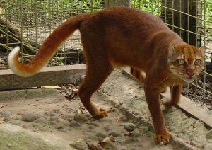 felinos-salvajes-inusuales-8
