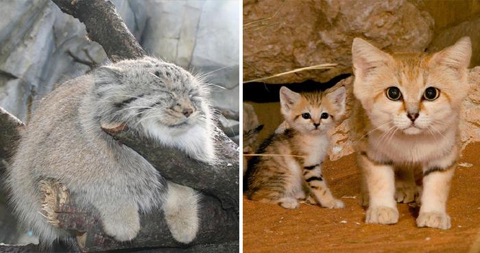 Tigres, leones, pumas, leopardos o jaguares - 21 Especies Curiosas De Felinos Salvajes