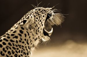 big-cats-ive-spent-10-years-photographing-these-wild-and-loving-creatures-5__880
