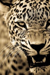 big-cats-ive-spent-10-years-photographing-these-wild-and-loving-creatures-6__880