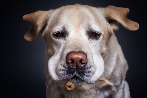 fotos-perros-expresiones-faciales-comida-christian-vieler-8