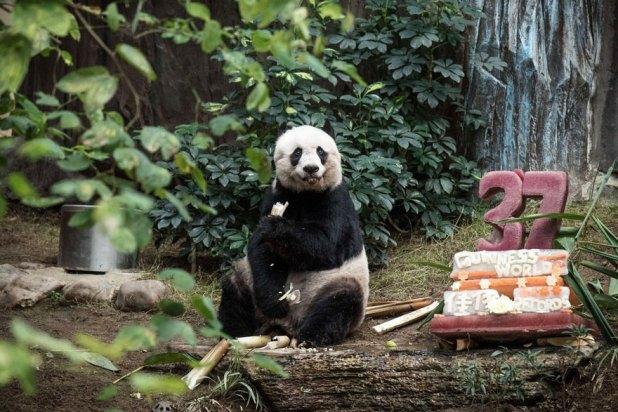 panda-jia-jia-37-anos-record-guinness-1