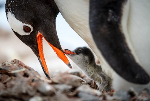 dia-concienciacion-pinguinos-14