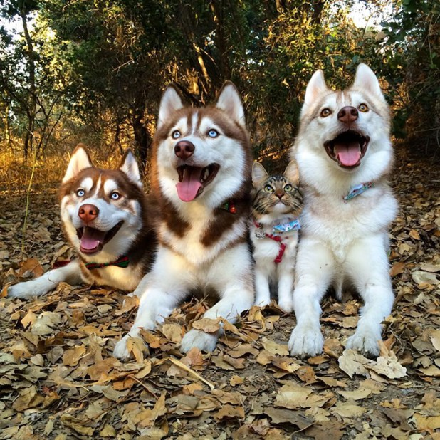 gato-rosie-amistad-3-perros-huskies-14
