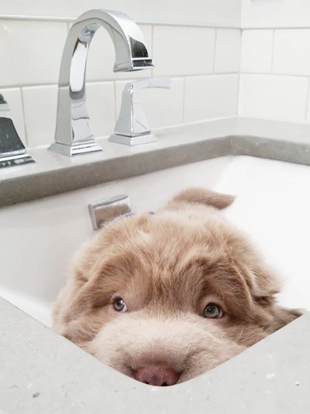 perro-adorable-sharpei-parecido-oso-tonkey-7
