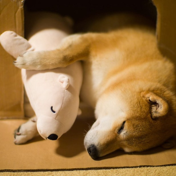 perro-shiba-inu-maru-dormir-igual-oso-peluche-10