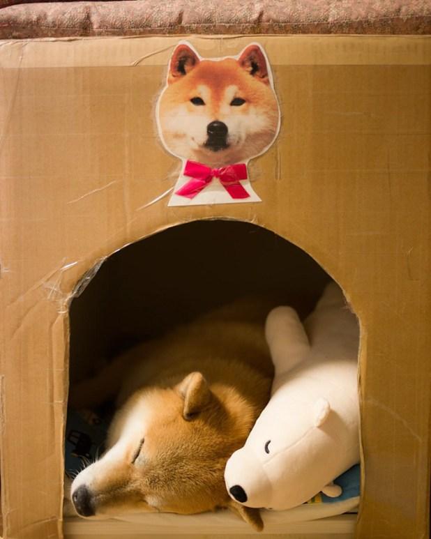 perro-shiba-inu-maru-dormir-igual-oso-peluche-11