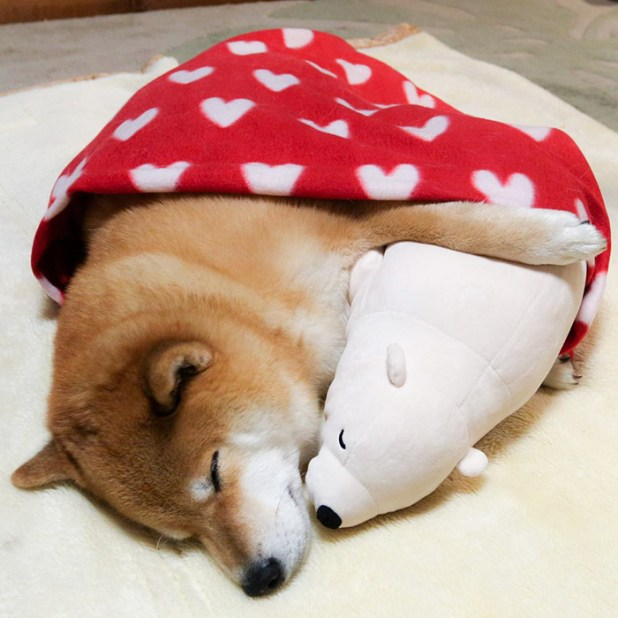 perro-shiba-inu-maru-dormir-igual-oso-peluche-2