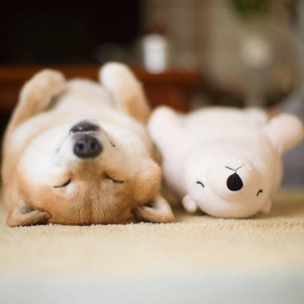 perro-shiba-inu-maru-dormir-igual-oso-peluche-5