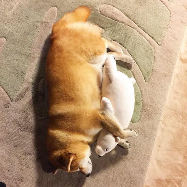 perro-shiba-inu-maru-dormir-igual-oso-peluche-7