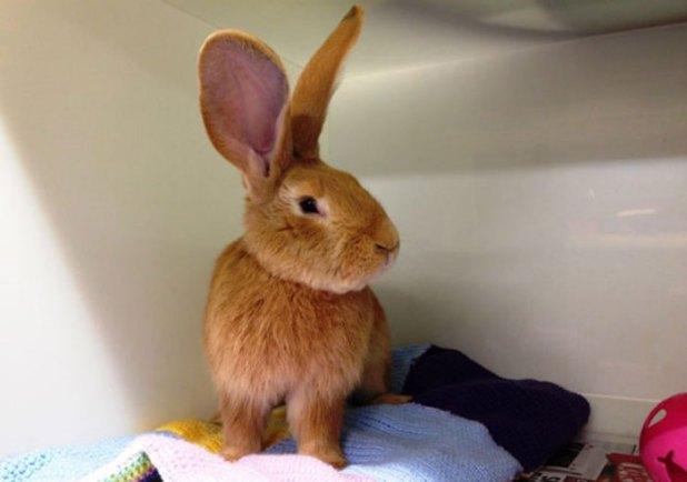 adopcion-conejo-gigante-continental-atlas-spca-2