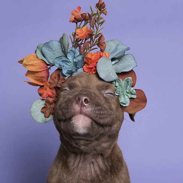 adoptar-perros-pitbull-flores-sophie-gamand-4