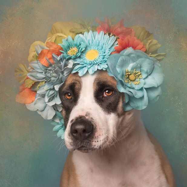 adoptar-perros-pitbull-flores-sophie-gamand-7