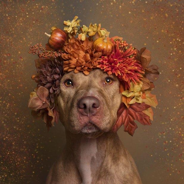 adoptar-perros-pitbull-flores-sophie-gamand-8