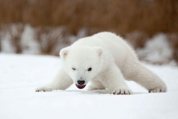 fotos-oseznos-polares-1