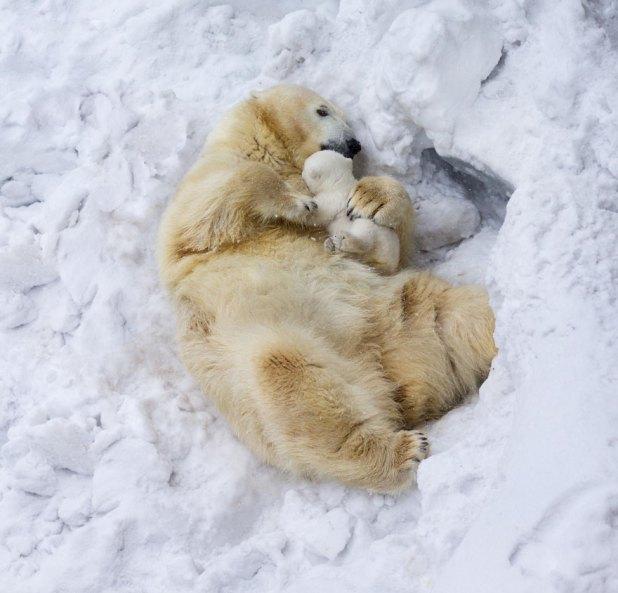 fotos-oseznos-polares-13