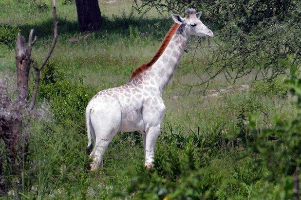 jirafa-blanca-omo-leucismo-tanzania-5