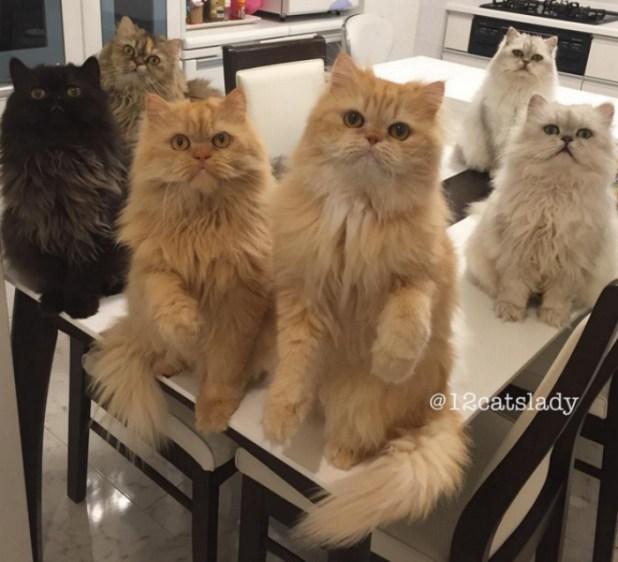 mujer-tiene-12-gatos-persa-chinchilla24