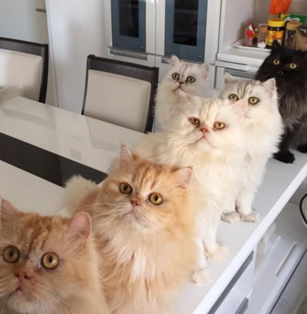 mujer-tiene-12-gatos-persa-chinchilla27