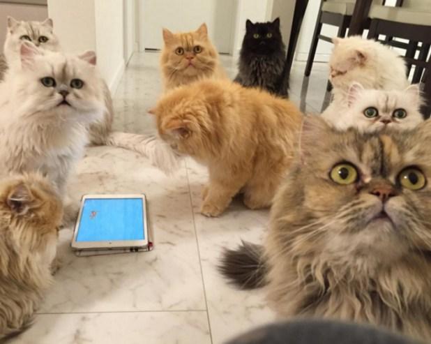 mujer-tiene-12-gatos-persa-chinchilla28