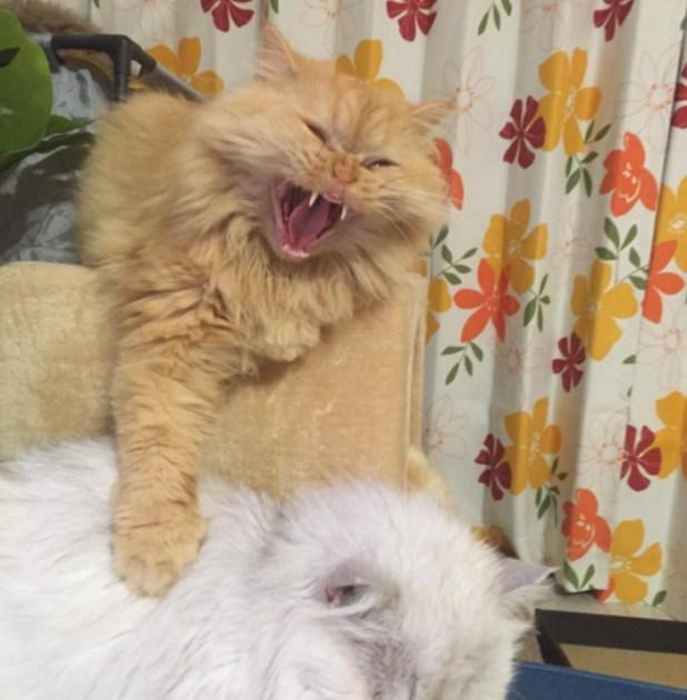 mujer-tiene-12-gatos-persa-chinchilla29