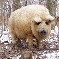 Estos Cerdos Lanudos Parecen Ovejas Y Se Comportan Como verdaderos Perros