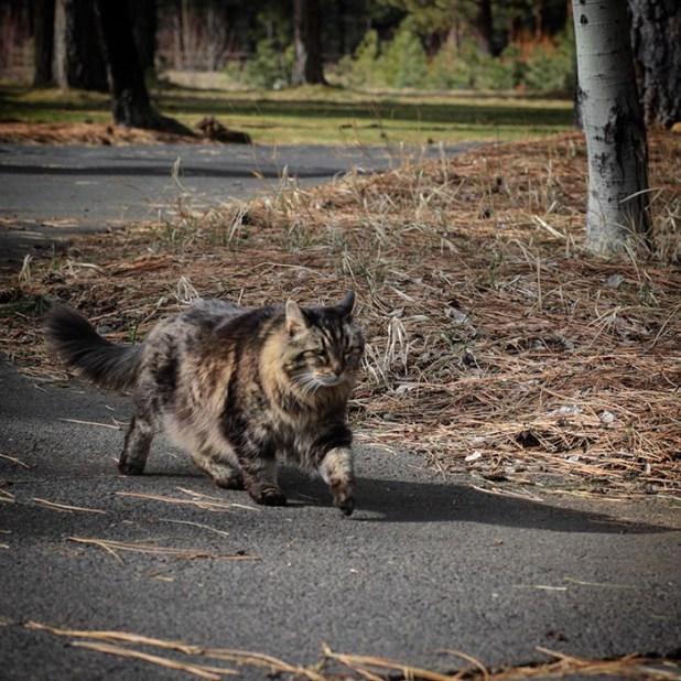 record-gato-viejo-mundo-corduroy-13