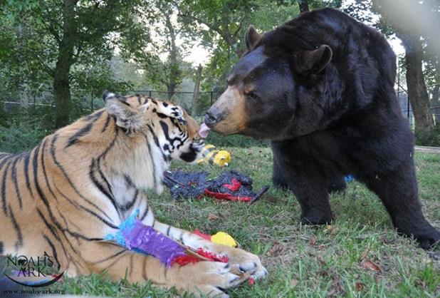 amistad-animal-inusual-oso-leon-tigre-santuario-georgia-10