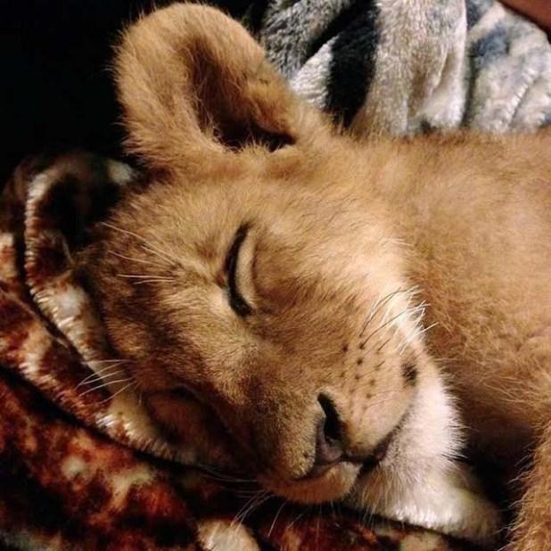 Lambert-cachorro-de-león