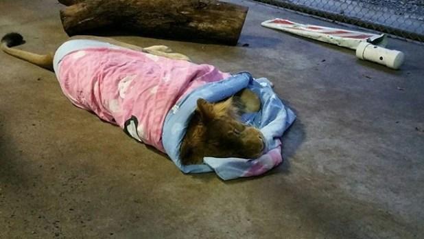 León-duerme