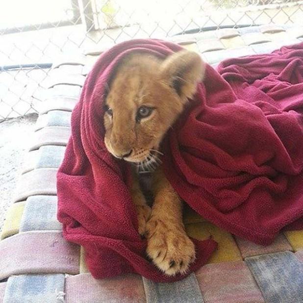 León-rescatado-duerme-con-una-manta