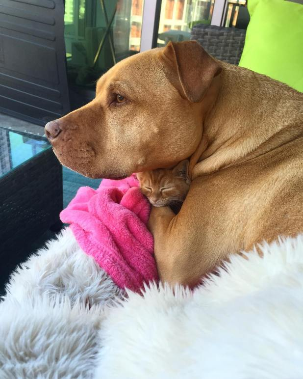 amistad-perro-pitbull-bubba-gata-rue-adoptados-1