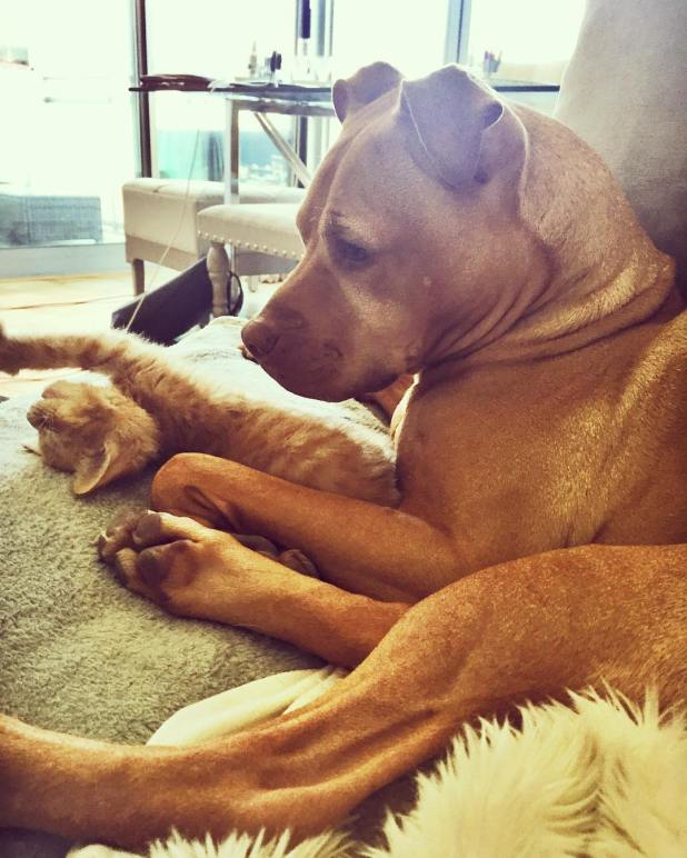 amistad-perro-pitbull-bubba-gata-rue-adoptados-11