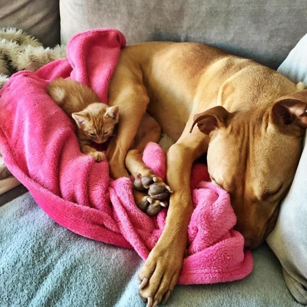 amistad-perro-pitbull-bubba-gata-rue-adoptados-5