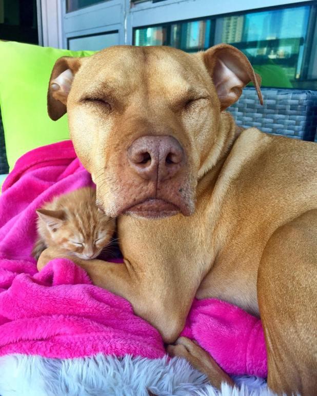 amistad-perro-pitbull-bubba-gata-rue-adoptados-9