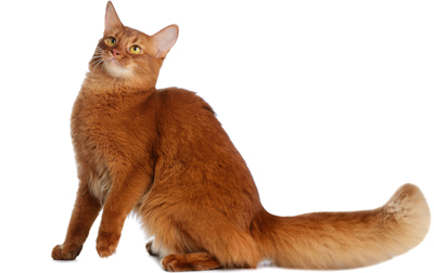file_2686_somali-cat-breed