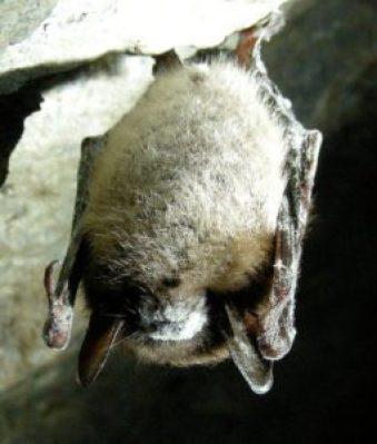 Piccolo pipistrello con la sindrome del naso bianco