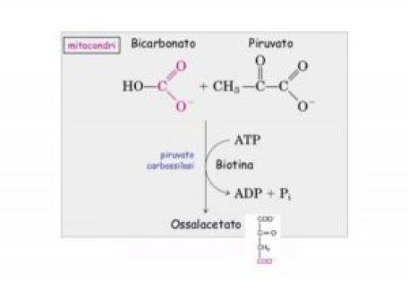 produzione ossalacetato
