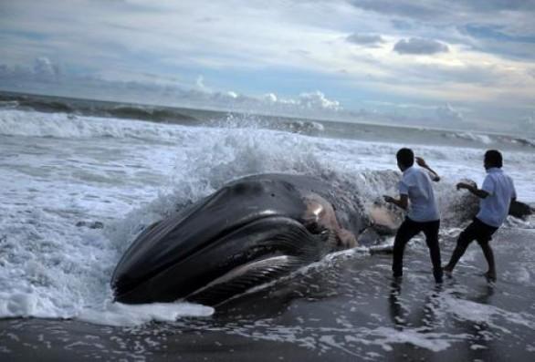 Il Santuario Pelagos, che si estende su 87.500 Km2 e che bagna 2.022 km di coste, è frequentato da 12 specie di cetacei, il 15% dei cetacei a livello mondiale ed Expédition MED dice che è «Una delle zone più inquinate del Mediterraneo, con delle misure di gestione largamente insufficiente».