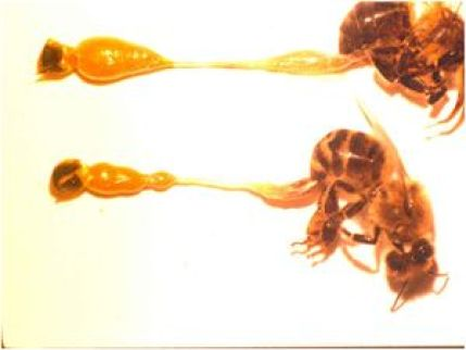Infezione di esemplari di Apis mellifera da Nosema ceranae