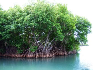 Habitat a mangrovie: hotspot di diversità microbica
