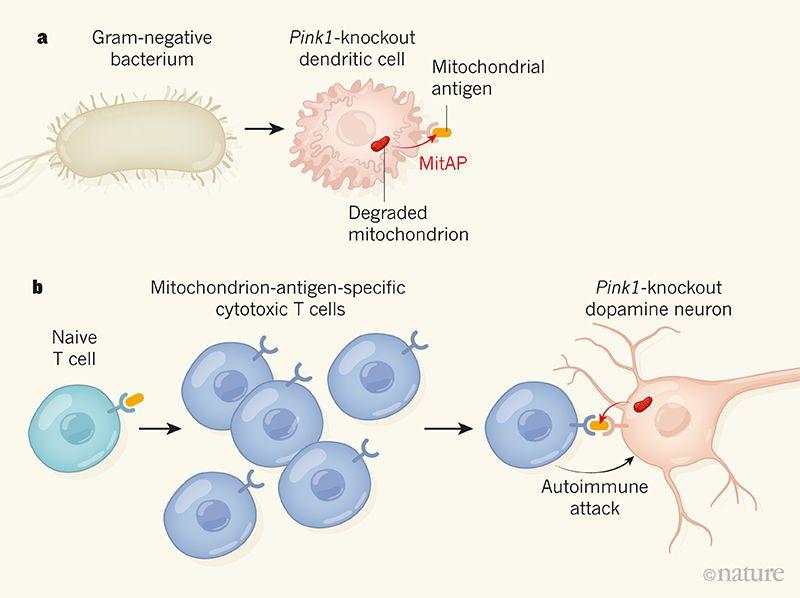 Possibile meccanismo grafico di immuno-disfunzione in topi Pink1 knockout (fonte Nature), infettati da Citrobacter rodentium.