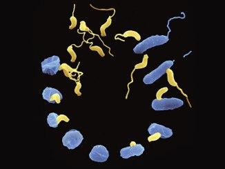 batteri predatori