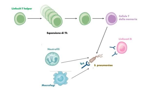 Schema della risposta immunitaria contro S.pneumoniae. Immunit
