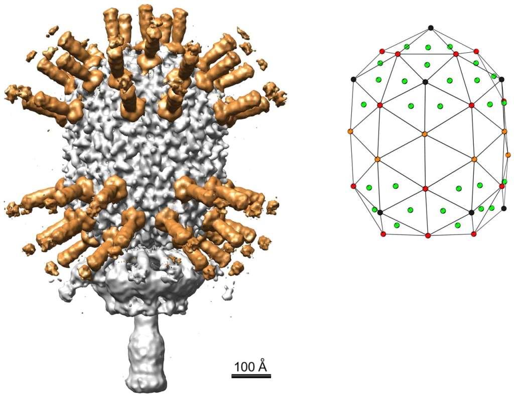 Strutturra molecolare del fago phi29