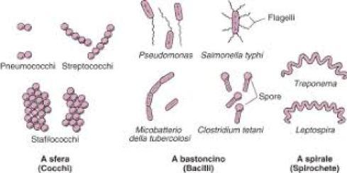 Classificazione morfologica dei batteri. Cohn fornì le prime descrizioni, tutt'ora valide.