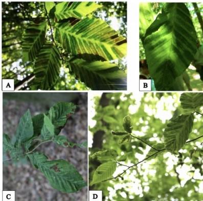 Nell'immagine sono mostrate delle foglie di faggio colpite dalla misteriosa malattia; i sintomi peculiari dell'infezione sono evidenti regioni nere (necrotiche) formatesi sui lembi fogliari, che testimoniano la sofferenza della pianta.
