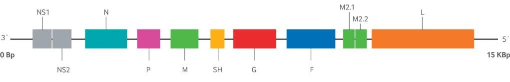 Genoma del virus RSV