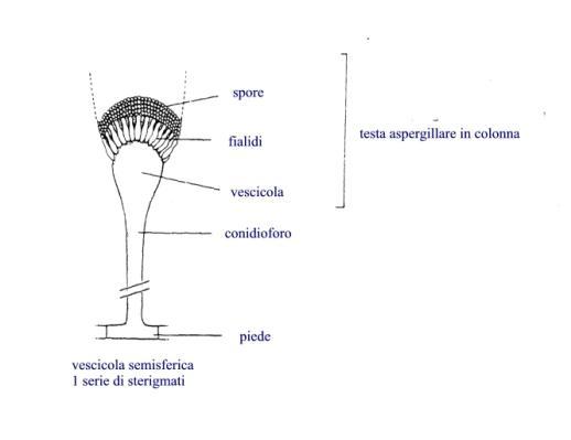 Struttura generale del genere Aspergillus